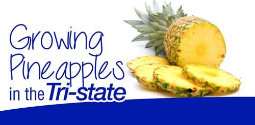 Growing Pineapples in the Tri-State
